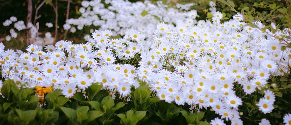 Daisy, White, Macro