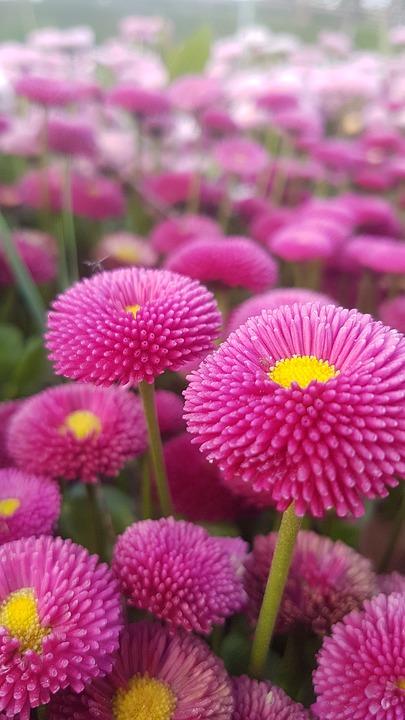 Pink Flower, Bellis Perennis, Daisy Meadows, Nature