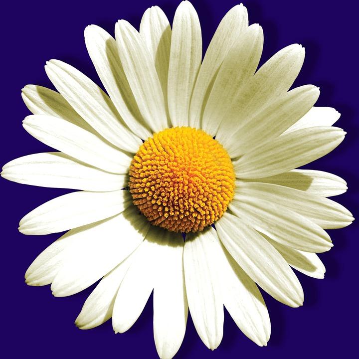 Flower, Petal, Nature, Summer, Plant, Daisy