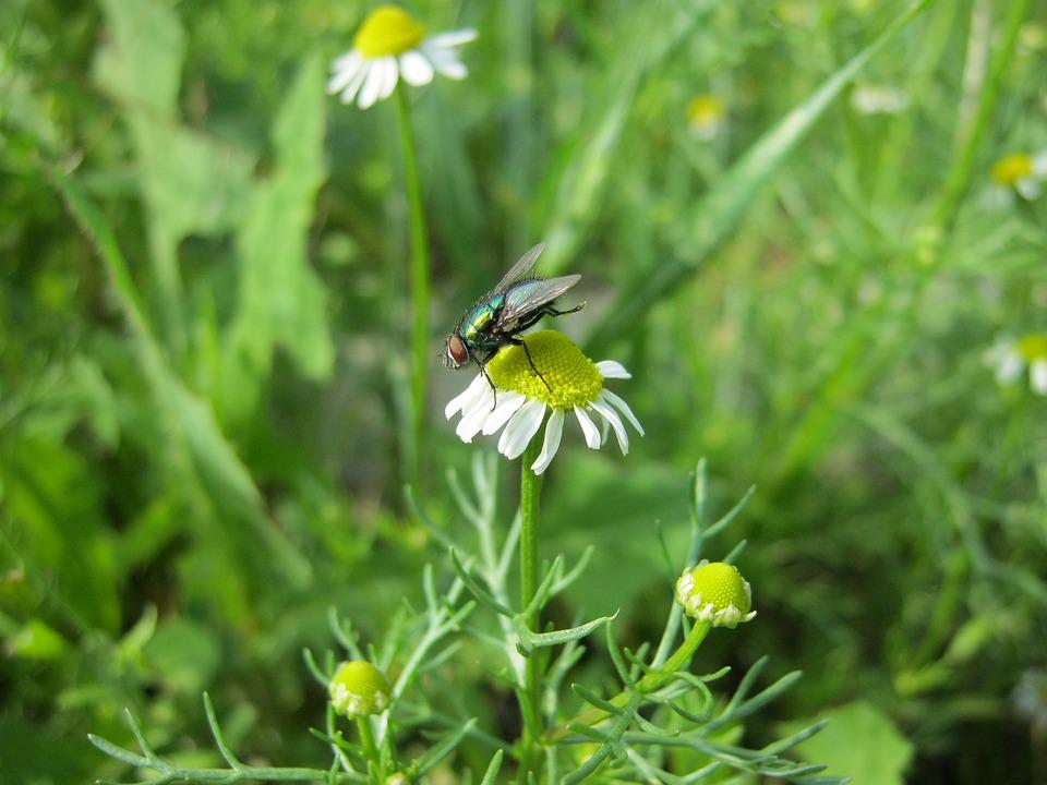 Nature, Summer, Daisy, Fly