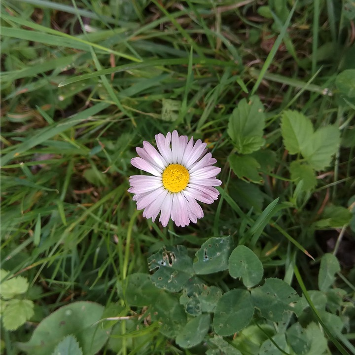 Daisy, White, Flower, Pink, Flowers, Meadow, Plant