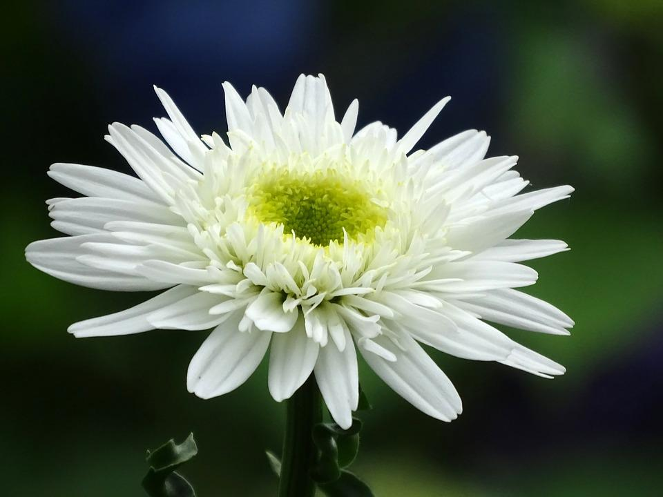 Marguerite, Flowers, Close, White, Bloom, Daisy Plant