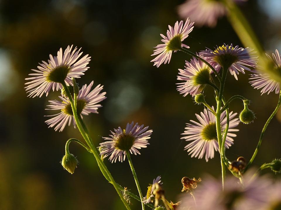 Daisy, Flower, Daisies, Flowers, Nature, Macro, Plant
