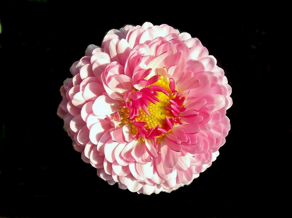 Flower, Daisy, Petal, Nature, Spring, Plant
