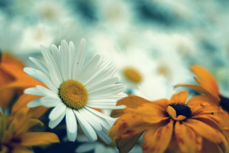 Daisy, Flower, Nature, Flowers, Plant, Garden, Macro