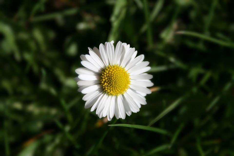 Nature, Plant, Flower, Grass, Daisy