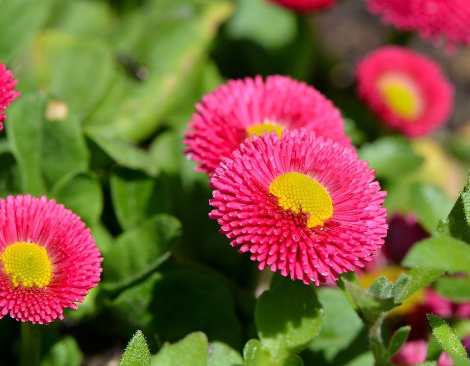Daisy, Spring Flower, Blossom, Bloom, Flower, Plant