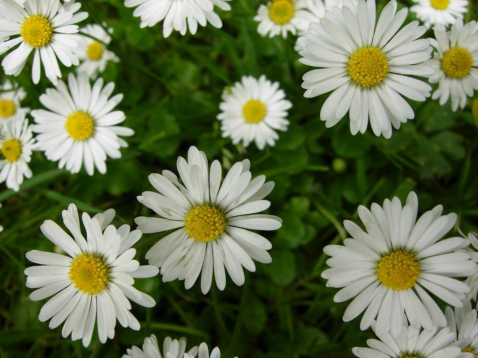 Free Photo Daisy Plant Spring Flower Summer Nature England Max Pixel