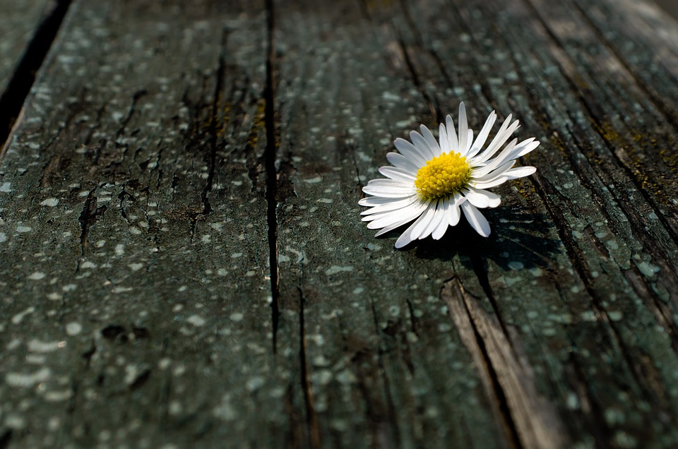 Daisy, Fluff, Nature, Macro, Season, Spring, Flower