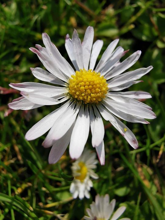Single Daisy, Daisy, Close Up, Flower, Nature, Single