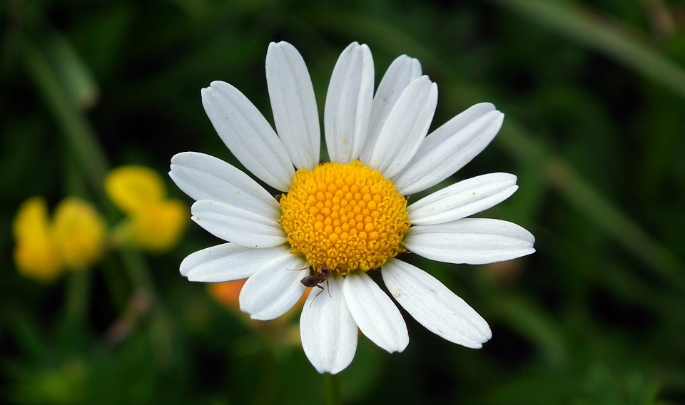 Nature, Plant, Flower, Daisy, Summer