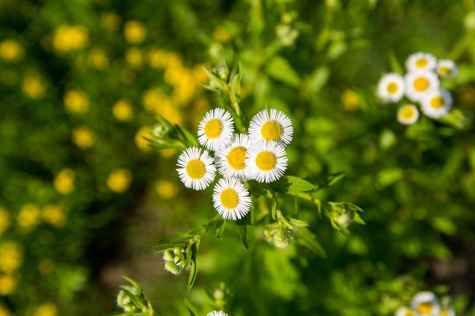 Daisy, Flower, White Flower, Chrysanthemum