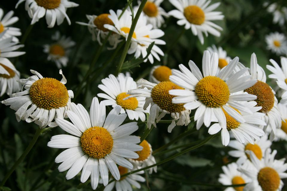 Free photo daisy white flowers summer flowers chamomile flower max flower daisy chamomile white flowers summer flowers mightylinksfo