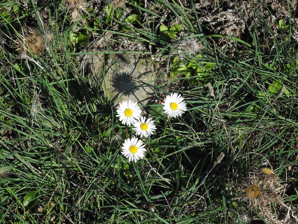 Daisy, Grass, Wild Flower, Plant