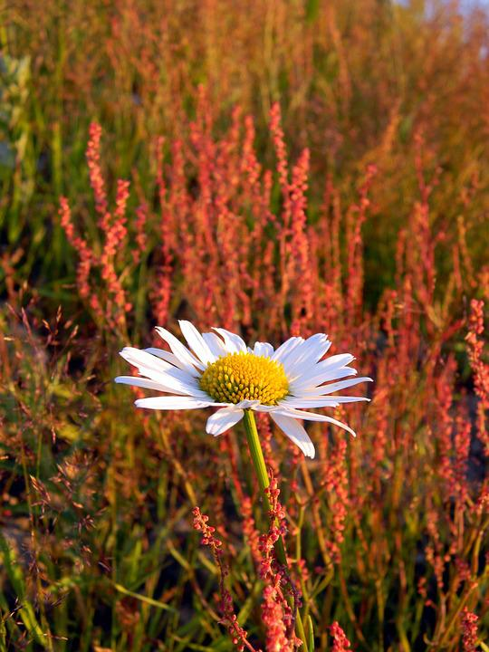 Daisy, Field, Wild Herbs, Wild Flowers