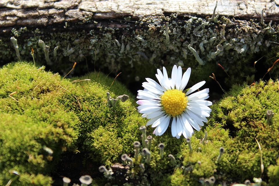 Moss, Daisy, Deco, Nature, Decoration, Wood, Green