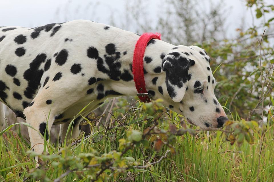 Dalmatian, Dog, Canine, Beautiful, Nature, Outside
