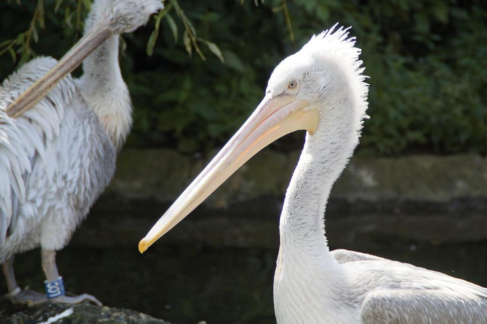 Dalmatian Pelican, Pelikan, Spring Dress, Water Bird