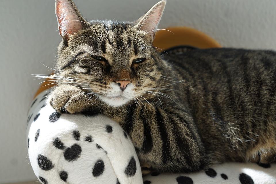 Cat, Tiger, Sofa, Dalmatians, Dog, Furniture, Couch