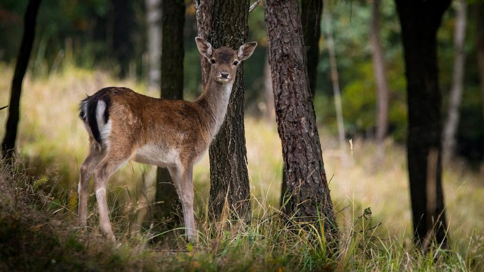 Fallow Deer, Dama Dama, Female, Tree, Forest, Nature