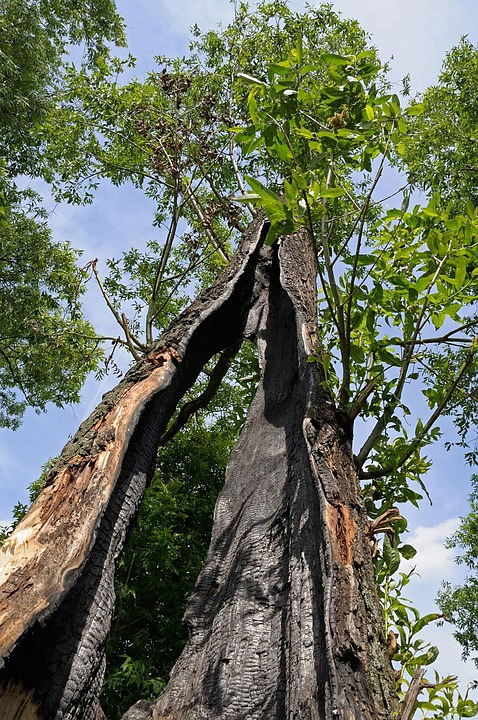 Damaged Tree, Burnt Tree, Lightning Damage