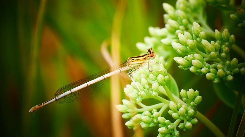 Dragonfly, Damsel, Flower, Bug, Damselflies