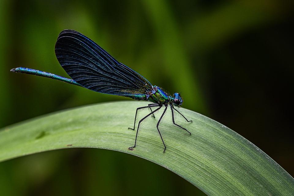 Blue, Damselfly, Dordogne, France, Delicate, Dragonfly