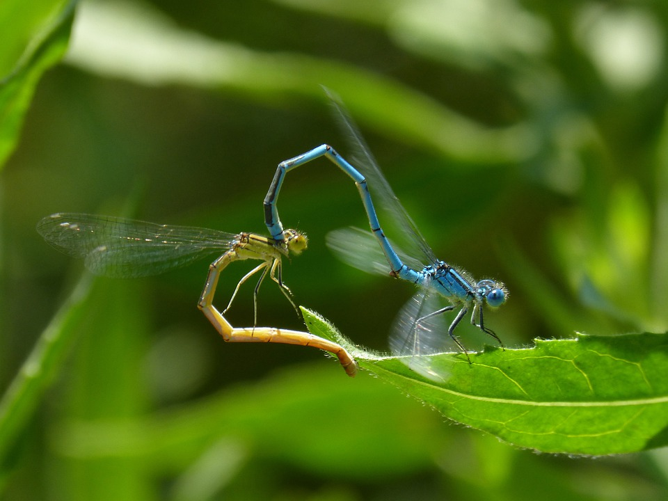 Enallagma Cyathigerum, Dragonfly, Damselfly