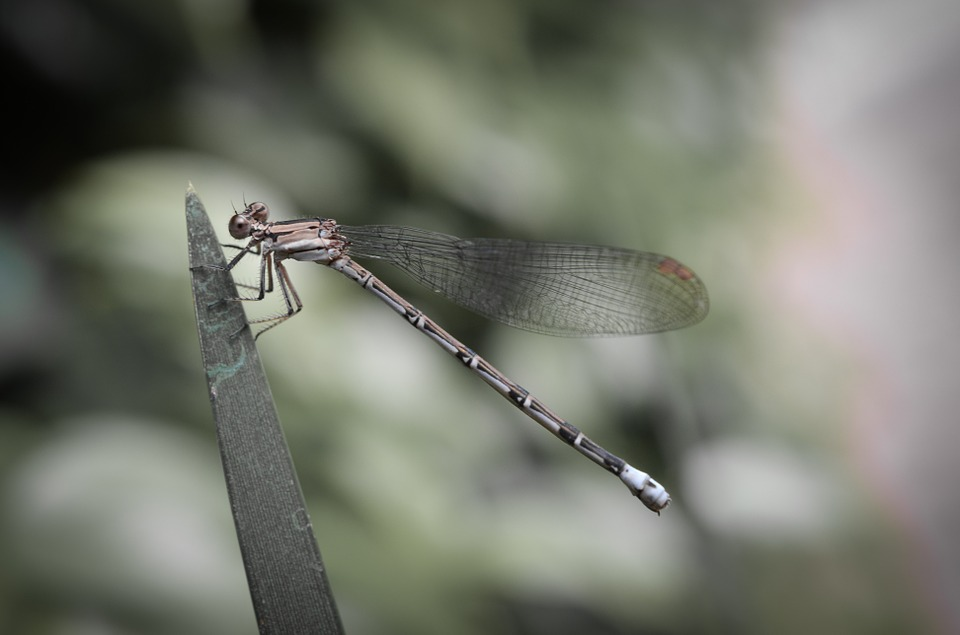 Damselfly, Dragonfly, Insect, Wildlife, Nature, Macro