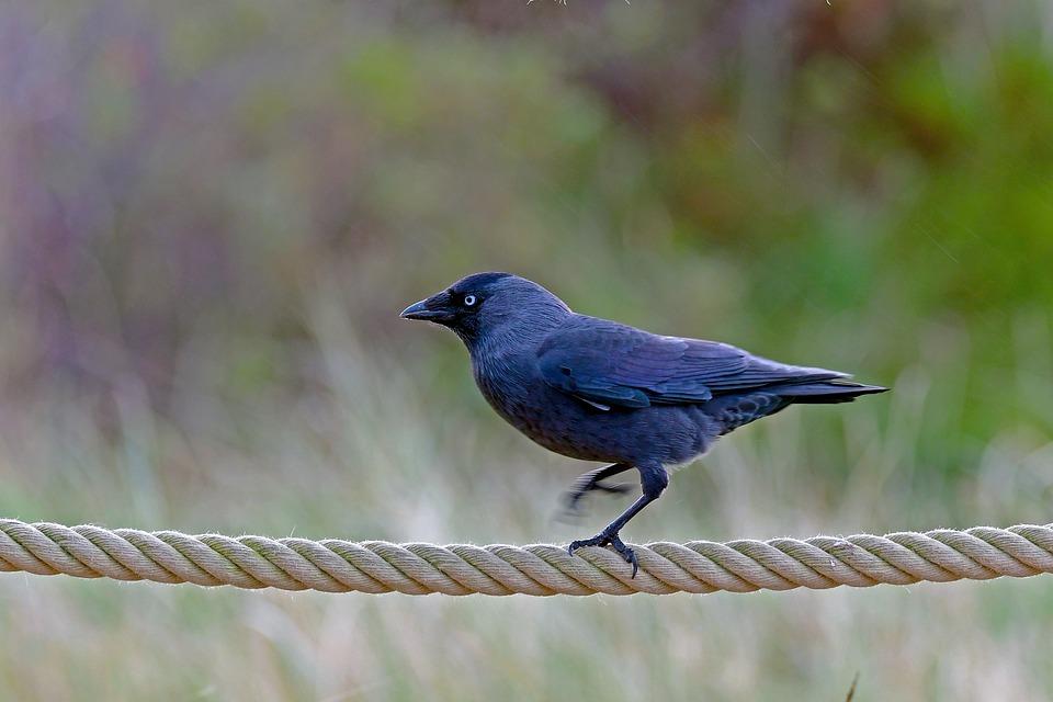 High-wire Artist, Jackdaw, Bird, Dance On The Rope