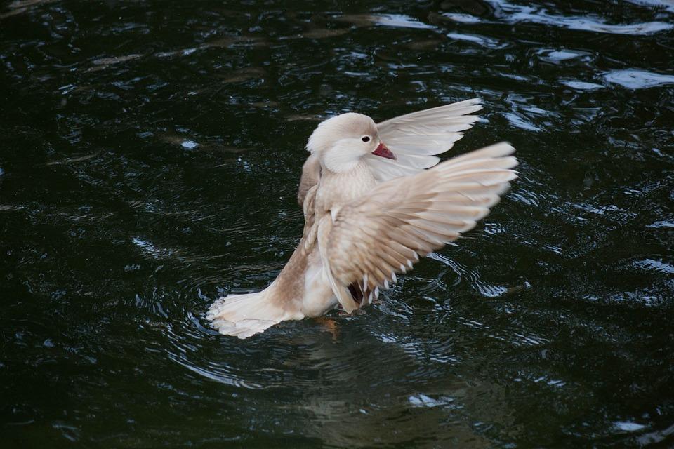 Bird, Duck, Nature, Hunt, White, Green, Water, Dance