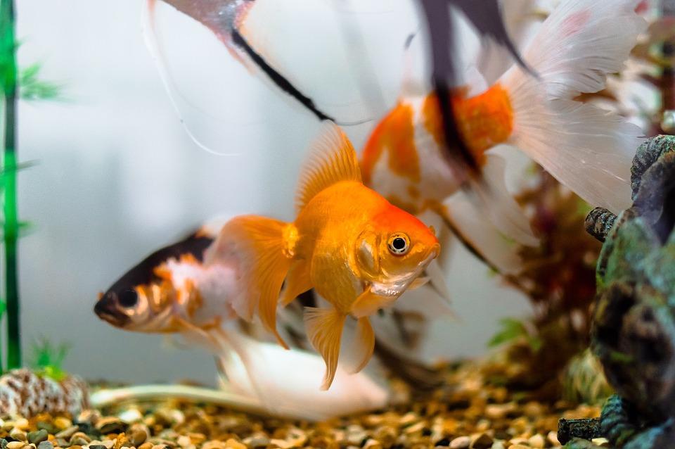 Aquariums, Color, Dancer Fish, Dancers, Decoration