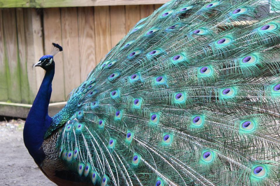 Peacock, Feather, Peafowl, Bird, Exhibition, Dancing