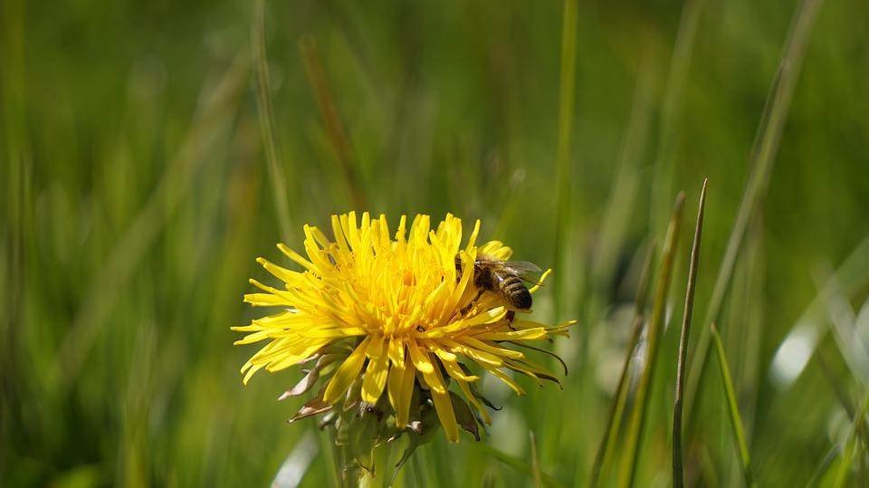Dandelion, Bee, Yellow, Nature, Flower, Pollination
