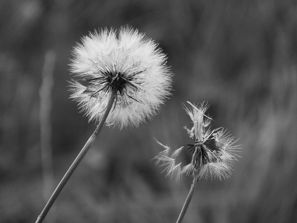 Dandelion, Close, Pointed Flower, Black And White
