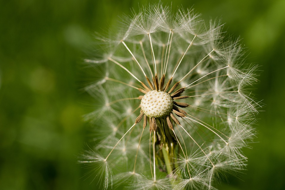 Dandelion, Seeds, Blossom, Bloom, Flowers, Plant, Macro