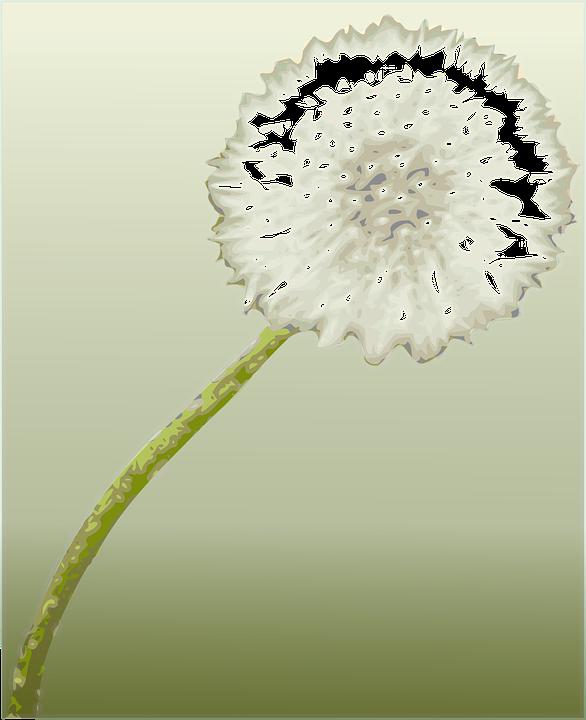 Dandelion, Flower, Botany, Plant