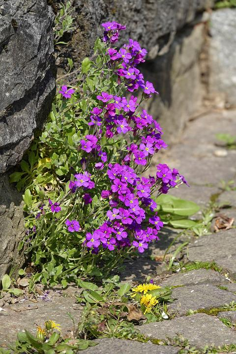 Stone Herb, Violet, Dandelion, Front Yard, Wall, Bright