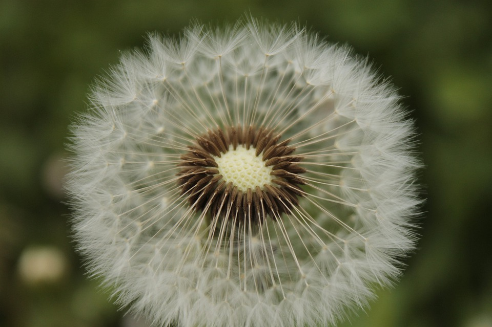 Ordinary, Dandelion, Pointed Flower, Dandelion Leaf