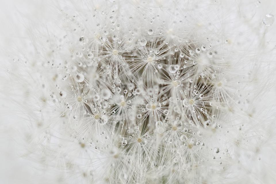 Dandelion, Seeds, Dew, Wet, Dewdrops, Flower, Seed Head