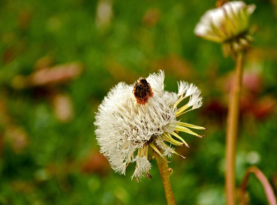 Dandelion, Dandelion Flower, Blossom, Bloom, Seeds
