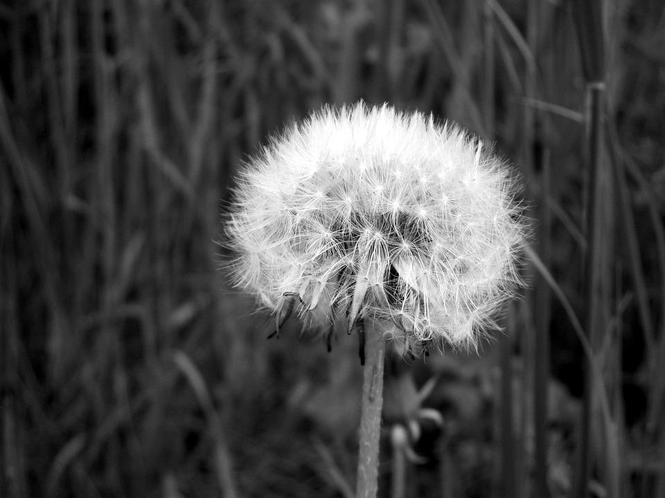 Flower, Dandelion, Faded Dandelion, Nature