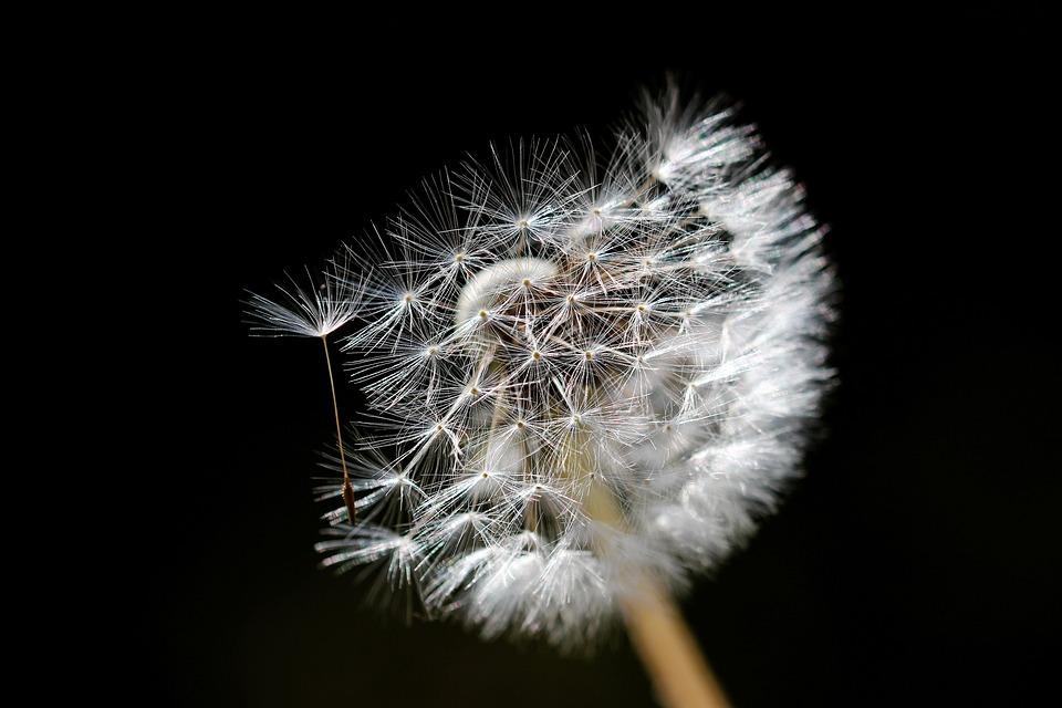 Dandelion, Flower, Nature, Plant, Close Up, Macro