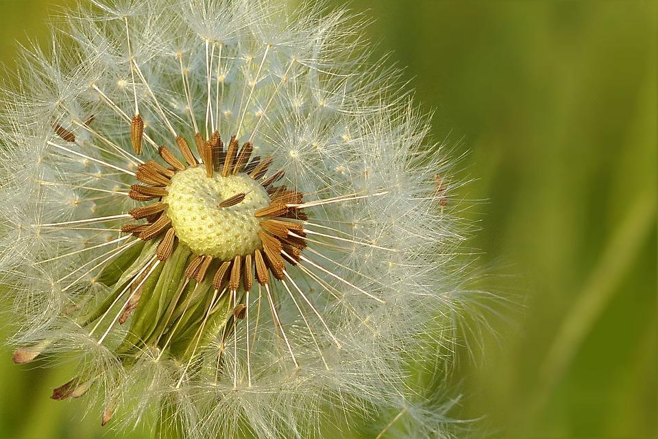 Dandelion, Meadow, Flower, Seeds, Flying Seeds
