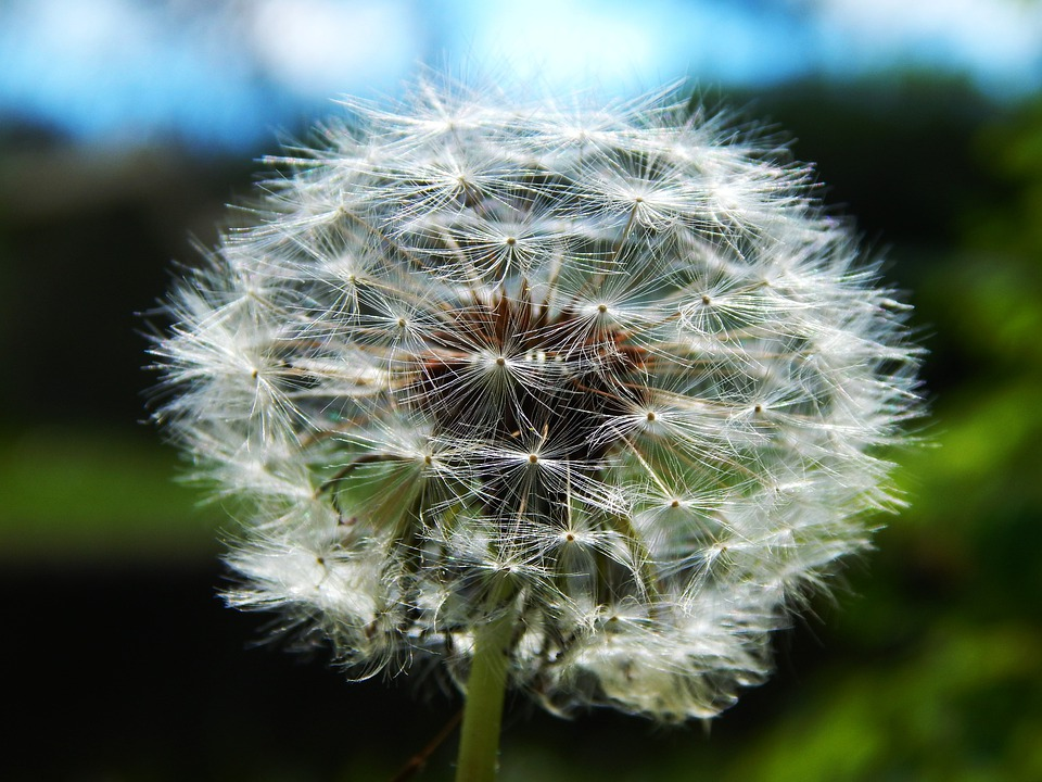 Flower, Dandelion, Meadow, Red-seeded Dandelion