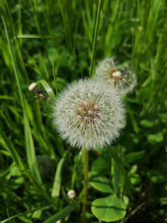 Dandelion, Grass, Green, Nature, Flower, Seeds