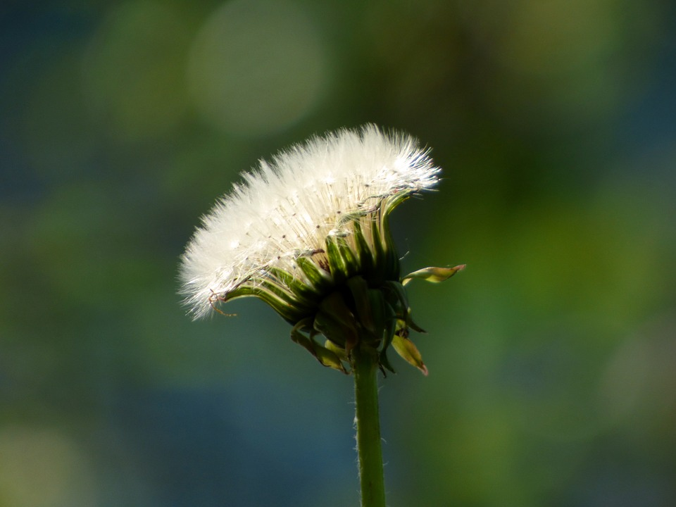 Flower, Nature, Plant, Dandelion, Spring Flowers