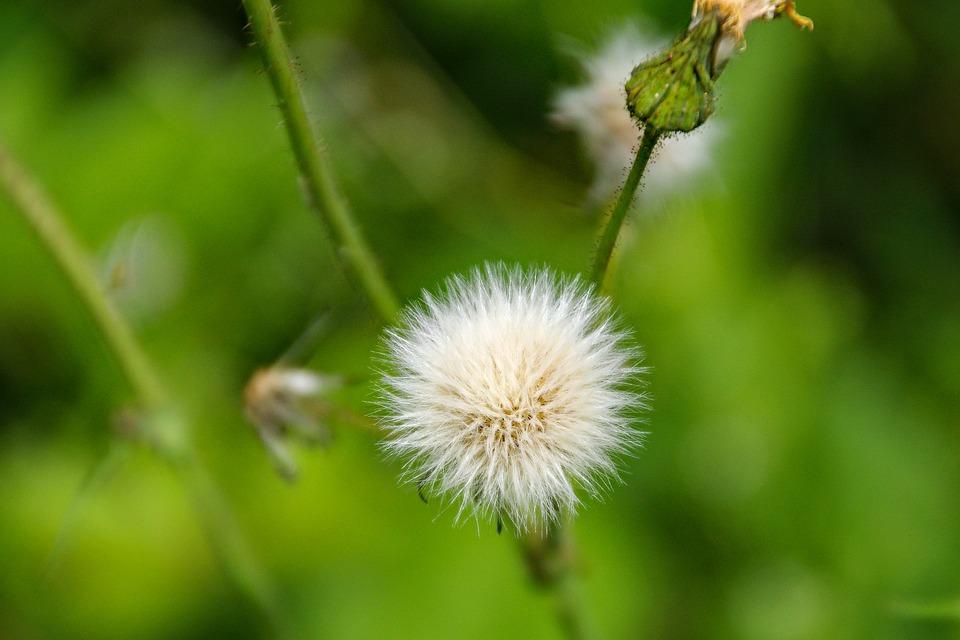 Dandelion, Fruits, Taraxacum Officinale, Spring, Bloom