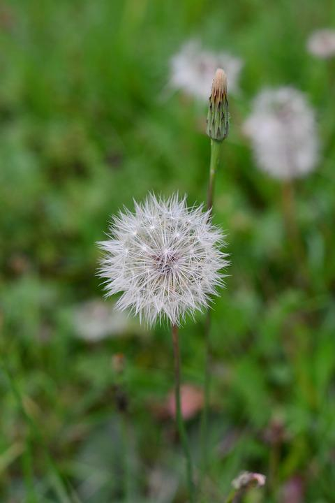 Dandelion, Nature, Flower, Plant, Close, Daisy, Green