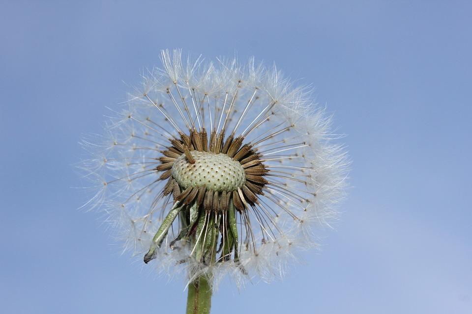 Dandelion, Blue Sky, Nature, Heaven, Faded Dandelion